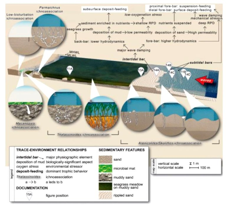 Neoichnological model - Andrea Baucon